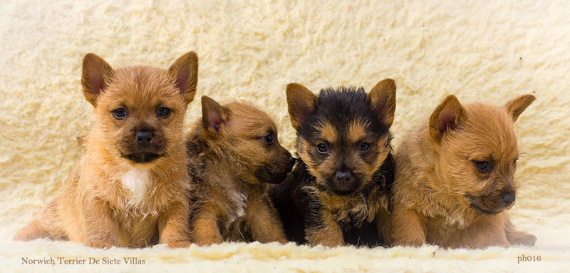 Cachorros Norwich Terrier de Winnie´s pups